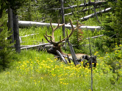 Elk in Yellowstone National Park, WY