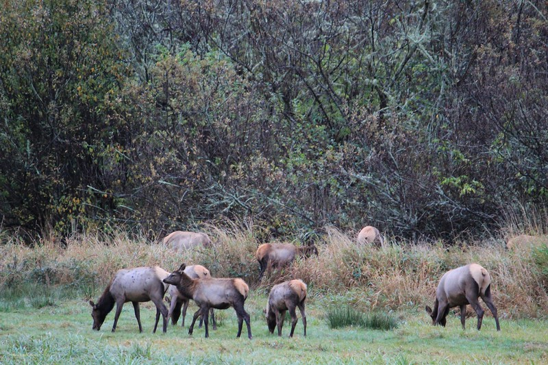 Elk browsing