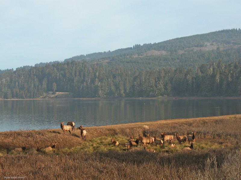 Herds of elk grazing along a highway or in a field in the Pacific Northwest
