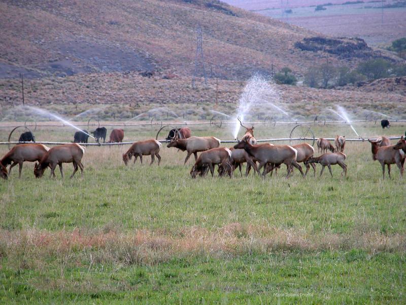 Elk in a Farmers Pasture