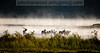 Elk in the fog at sunrise on the Flathead River, Montana with ducks and geese in the background.