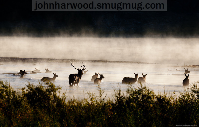 Elk in the fog at sunrise on the Flathead River, Montana with ducks in the background