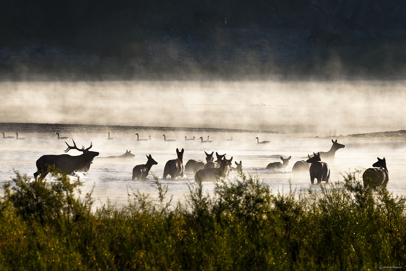 Elk in the Mist - IMG_9450<br /> <br /> Got an update on this photo near Quinn's Hot Springs that was chosen to promote Montana Tourism. It's currently being placed on the sides of Busses in Chicago, Seattle and Salt Lake. They are also using it in a page and a third ad in the National Audubon Society Magazine (see attached partial), in the coming months. It will also be included as a header for a video ad at the top of Yahoo's main News page and main National Geo. web page. It will also be included in the Chicago train station and 26 other locations around the country. It also has been chosen by the Rocky Mountain Elk Foundation for their Chapter catalog. Sooo... exciting!!!<br /> <br /> Elk in the mist on the Flathead River near Quinn's Hot Springs.<br /> <br /> Miracles in the Mist<br /> A voice tells me to put on my telephoto lens 15 min. before seeing Elk. A voice tells me to turn my head hard right as I am driving and I spot two cow elk stepping into the misty river. I turn my eyes back to the highway where there just happens to be a pullout for me to stop. There just happens to be a clear path for me to run to river's edge among swamps and fences. The fog illuminates as the sun is just beginning to rise. The elk are 200 yards out and almost across the river as I arrive at the rivers edge. A voice tells me to bugle with my mouth and despite my doubt that they will hear me I am obedient and they return to within 100 yards. Ducks and geese come out of nowhere and begin swimming in the background as I am shooting pictures. The elk stick around for ten minutes giving me many opportunities to take shots and adjust my camera and shoot again with a final silhouette pose by the bull as he pushes his cows around the end of the island. Due to the poor lighting conditions of first daylight, the shutter speed was well below accepted limits for a hand held telephoto without getting motion blur. However, I ended up with 80 stunning shots out of a 100 despite those limits. This area is not known for elk and locals say at-most they pass through here twice a year and after 40 plus years of constant travel on this highway I had never seen elk in the area before this.<br /> <br /> After taking the last picture I sat down with tears of joy streaming down my face, and thanked God for the Miracles in the mist as I realized only he could have orchestrated this photo shoot.