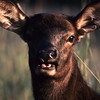 This yearling female elk is very friendly and unafraid.  The evening sun turns her coat dark red.  She is very curious.