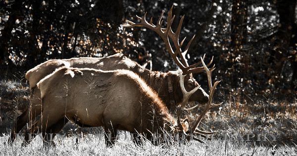 Elk can live as long as 15 years.