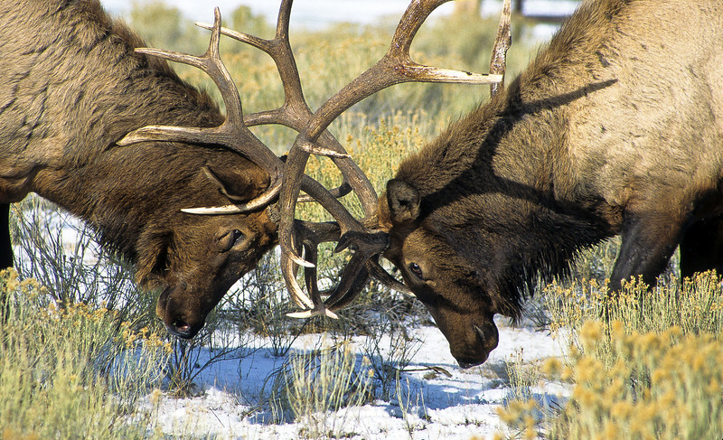 Each bull elk must fight to protect their territory and their females from intruders.  These displays are serious and can cause injury and even death.  These large bulls lunge and crash into each other with power and force.