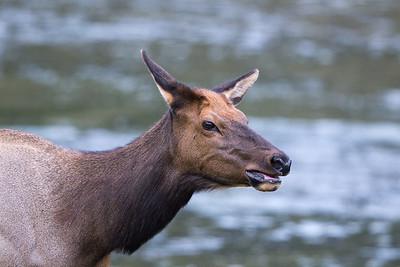 River Elk I