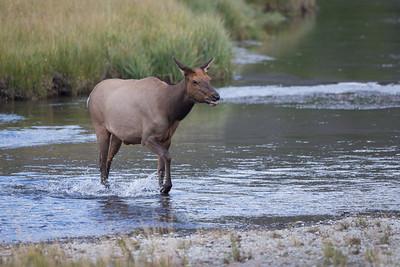 River Elk III