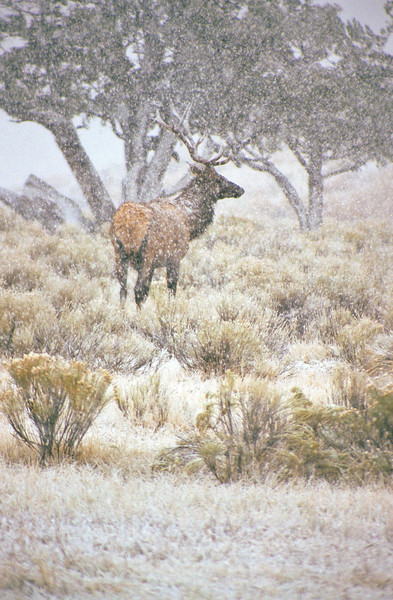 A sudden September snow storm catches elk and photographer by surprise.  The elk comes through the whiteness in the image and we can feel the cold and beauty of the snow.