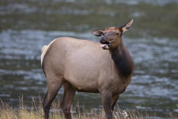 River Elk II