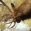 This elk is about to do battle to protect his turf.  I will be a major fight, horns bashing and elk grunting.