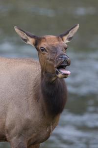 River Elk IV