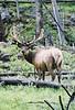 closer shot of elk looking back