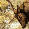 This bull elk is protecting his territory and was ready for action.  The wildness in his eyes display purpose.