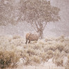 This bull elk became caught in a September blizzard in Yellowstone National Park.  This was a fun day and as I approached he just kept walking away.  He is very much at home in this environment.