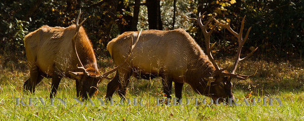 Elk feed on grasses, forbs, acorns, bark, leaves, and buds.