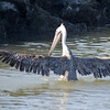 Pelicans have an impressive wingspan