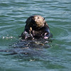 Lots of sea otters on view