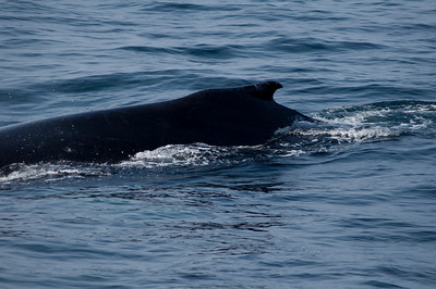 This family of humpback whales came in so close to the boat that we even felt it when they breathe.