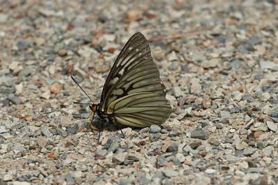 Red Ring Skirt (female) Hestina assimilis Family Nymphalidae Mudeungsan National Park, Ullim-dong, Gwangju, South Korea 24 May 2014