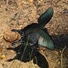 Chinese Peacock<br> <i>Papilio dehaani</i><br> Family <i>Papilionidae</i><br> Gakhwa Reservoir, Gakhwa-dong, Gwangju, South Korea<br> 30 June 2013