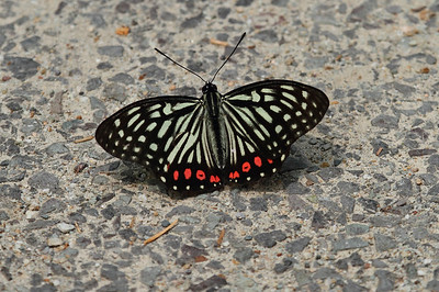 Red Ring Skirt (male) Hestina assimilis Family Nymphalidae Mudeungsan National Park, Ullim-dong, Gwangju, South Korea 24 May 2014