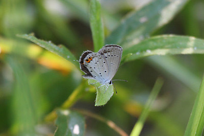 Short-tailed Blue Cupido argiades Family Lycaenidae Gakhwa Reservoir, Gakhwa-dong, Gwangju, South Korea 15 June 2014