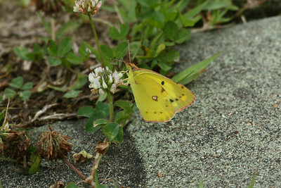 Pale Clouded Yellow Colias erate Family Pieridae Gwangjuho Lake Ecology Park, Chunghyo-dong, Gwangju, South Korea 5 July 2014