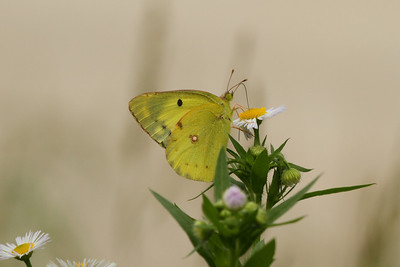 Pale Clouded Yellow Colias erate Family Pieridae Yeongsangang River, Damyang-gun, Jeollanam-do, South Korea 1 June 2014