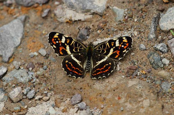 Large Map Araschnia burjana Family Nymphalidae Mudeungsan National Park, Ullim-dong, Gwangju, South Korea 24 May 2014