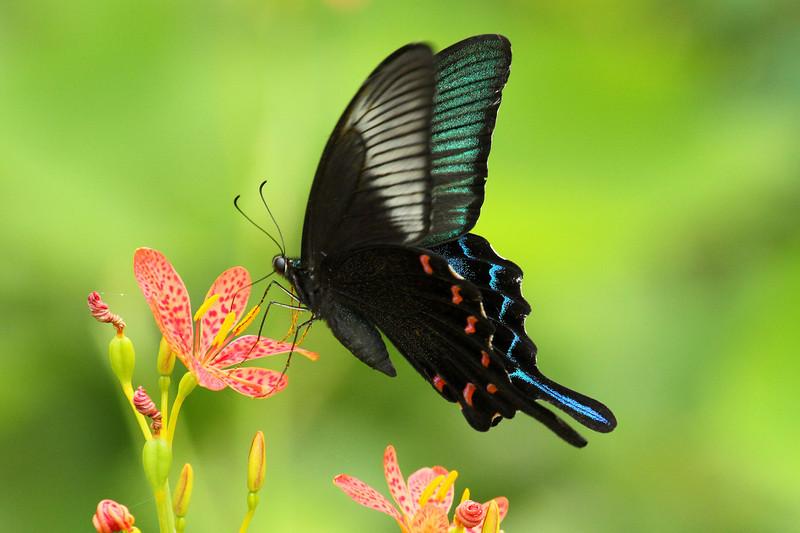 Chinese Peacock<br> <i>Papilio dehaani</i><br> Family <i>Papilionidae</i><br> Gwangjuho Lake Ecological Park, Chunghyo-dong, Gwangju, South Korea<br> 13 July 2013