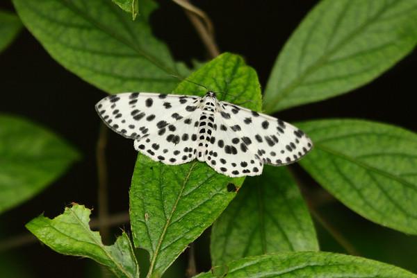 Pending Identification Family Geometridae Mudeungsan National Park, Ullim-dong, Gwangju, South Korea 24 May 2014