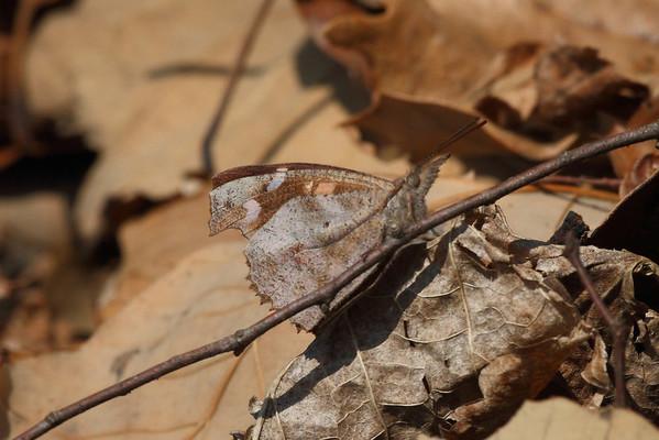 Nettle-tree Butterfly Libythea celtis Family Nymphalidae Geumseongsanseong, Damyang-gun, Jeollanam-do, South Korea 2 March 2014