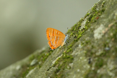 Orange Hairstreak Japonica lutea Family Lycaenidae Mudeungsan National Park, Geumgok-dong, Gwangju, South Korea 31 May 2014