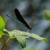 <i>Calopteryx atrata</i><br> Family <i>Calopterygidae</i><br> Duam-dong, Gwangju, South Korea<br> 27 July 2014