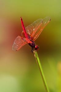 Crimson Dropwing (male) Trithemis aurora Family Libellulidae Taipei Botanical Garden, Taipei City, Taiwan 10 August 2013
