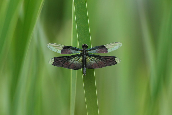 Butterfly Skimmer Rhyothemis fuliginosa Family Libellulidae Gwangjuho Lake Ecological Park, Chunghyo-dong, Gwangju, South Korea 5 July 2014