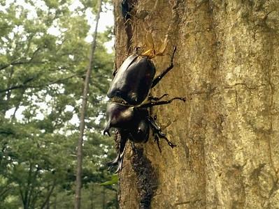 Japanese Rhinoceros Beetle (male & female) / 장수풍뎅이 Allomyrina dichotoma Family Scarabaeidae Gakhwa Reservoir, Gakhwa-dong, Gwangju, South Korea 17 August 2014