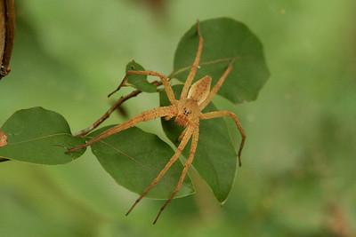 Fishing Spider Dolomedes sulfureus Family Pisauridae Gakhwa Reservoir, Gakhwa-dong, Gwangju, South Korea 27 July 2013