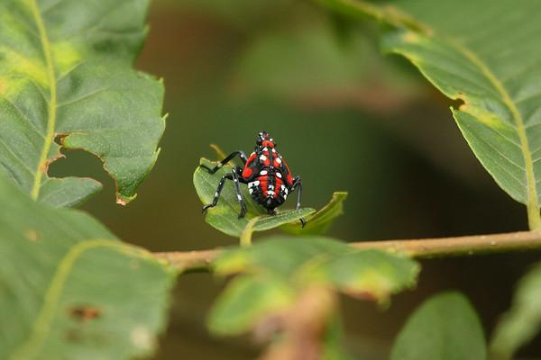 Spot Clothing Wax Cicada (nymph) Lycorma delicatula Family Fulgoridae Gakhwa Reservoir, Gakhwa-dong, Gwangju, South Korea 20 July 2014