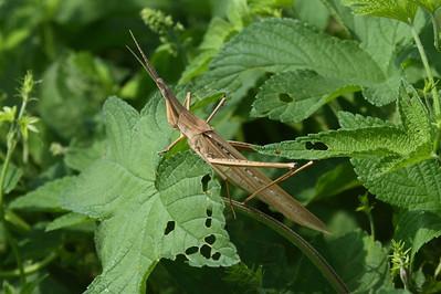 Chinese Grasshopper Acrida cinerea Family Acrididae Dongcheongang River, Suncheon-si, Jeollanam-do, South Korea 1 September 2013