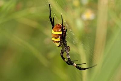 Far Eastern Black-and-yellow Garden Spider Argiope amoena Family Araneidae Gakhwa Reservoir, Gakhwa-dong, Gwangju, South Korea 27 July 2013
