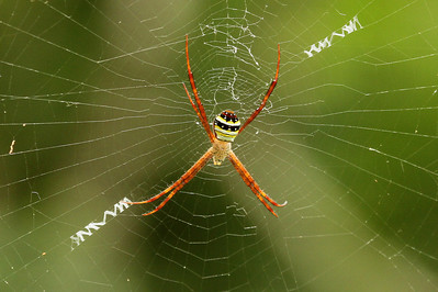 Orb-web Spider Argiope minuta Family Araneidae Gakhwa Reservoir, Gakhwa-dong, Gwangju, South Korea 27 July 2013