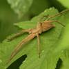 Fishing Spider<br> <i>Dolomedes sulfureus</i><br> Family <i>Pisauridae</i><br> Gakhwa Reservoir, Gakhwa-dong, Gwangju, South Korea<br> 27 July 2013