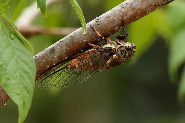 Korean Cicada Cryptotympana atrata Family Cicadidae Gwangju River, Gwangju, South Korea 3 August 2013