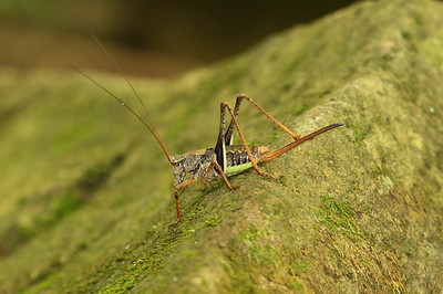 Unidentified Cave Cricket Family Rhaphidophoridae Dongbu-myeon, Geoje-si, Gyeongsangnam-do, South Korea 7 June 2014