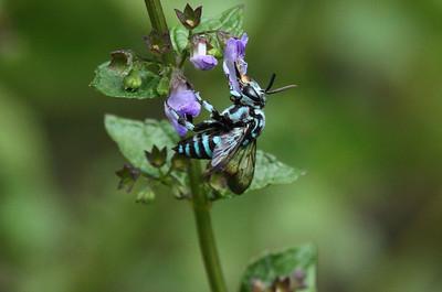 Cuckoo Bee Thyreus sp. Family Apidae Naejangsan National Park, Jeongeup, Jeollabuk-do, South Korea 7 September 2013