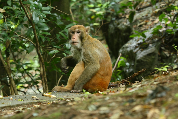 Rhesus Macaque / 普通獼猴 Macaca mulatta Family Cercopithecidae Seven Star Park, Guilin, Guangxi, China 9 August 2014