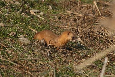 Least Weasel / 쇠족제비 Mustela nivalis mosanensis Family Mustelidae Gangjin Bay, Gangjin-gun, Jeollanam-do, South Korea 4 January 2015