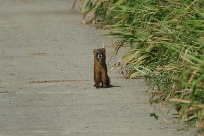 Least Weasel / 쇠족제비 Mustela nivalis mosanensis Family Mustelidae Anpung-dong, Suncheon-si, Jeollanam-do, South Korea 30 August 2014
